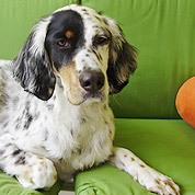 English Setter - Bailey